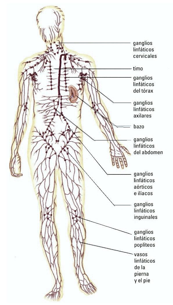 Excepcional Ganglios Linfáticos En Las Piernas Fotos - Anatomía de ...
