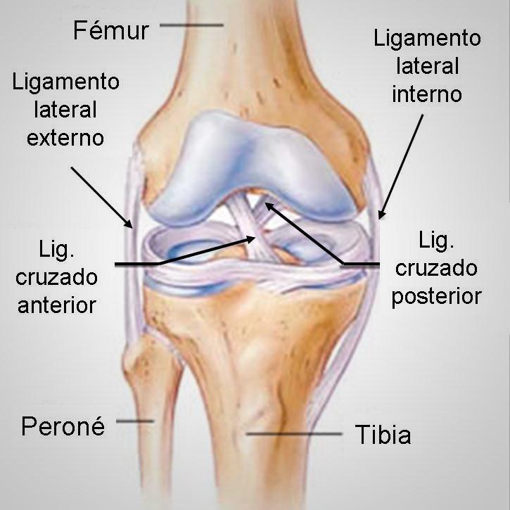 Perfecto Anatomía De La Rodilla Ligamento Cresta - Anatomía de Las ...