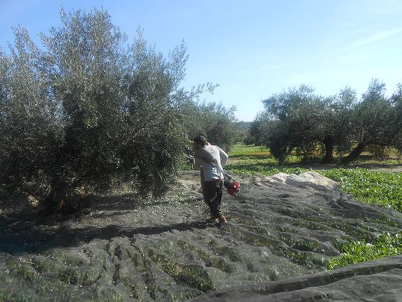sklizeň oliv