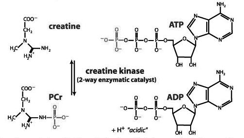 estructuraefectosdelamonohidratodecreatina.png
