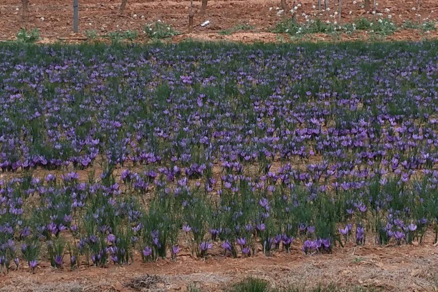 planta-azafran-1-900x600jpg