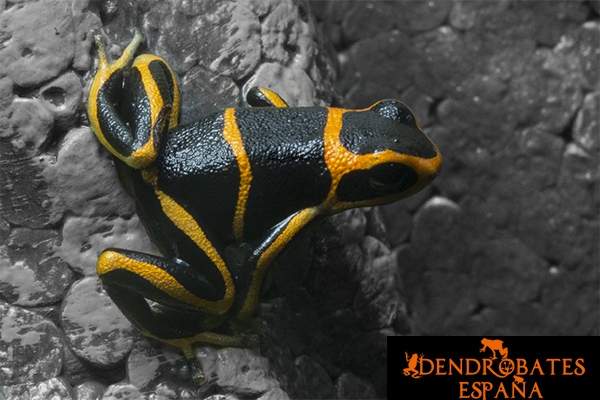 Ranitomeya Summersi - Dendrobates Spain